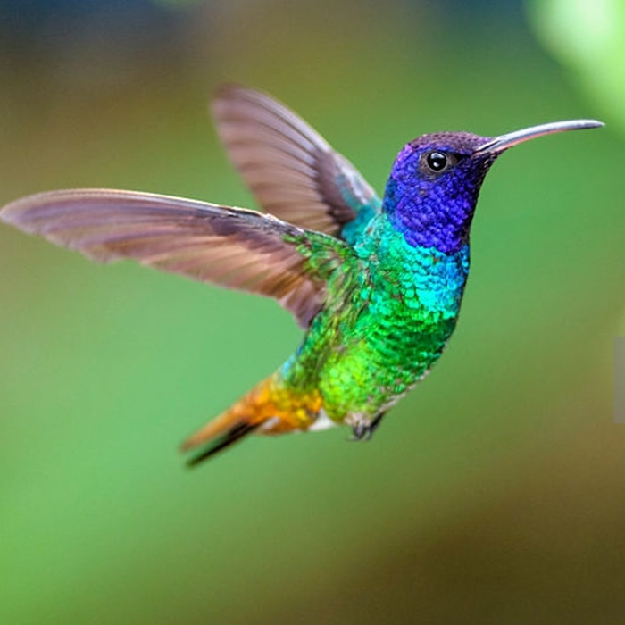 Brightly coloured hummingbird