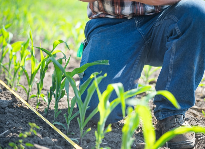Man kneeling in crop and checking crop