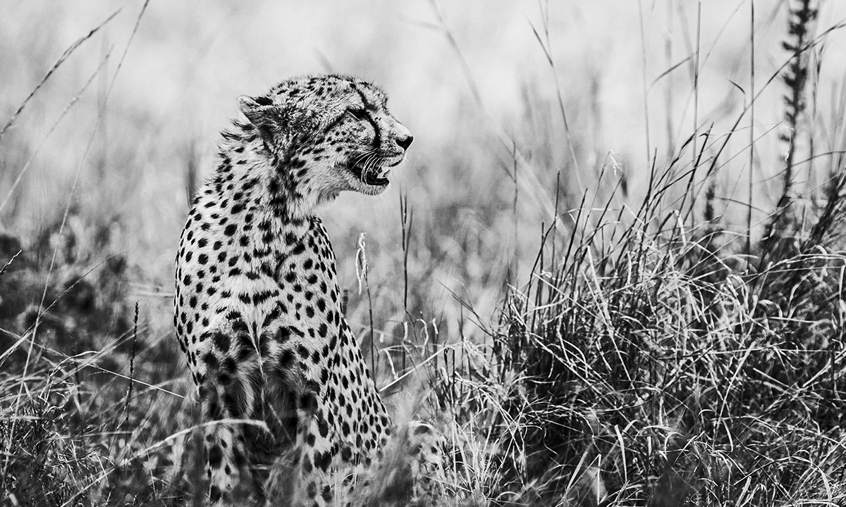 Black and white picture of cheetah